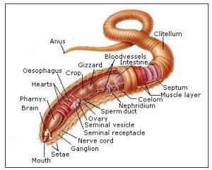 earthworm-anatomy1334904468579